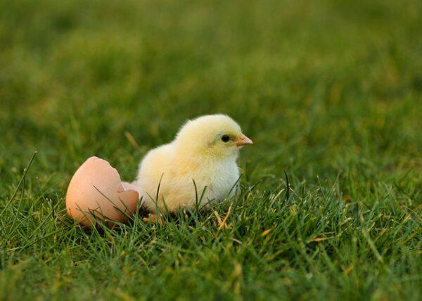 Ein Küken läuft von einem Ei davon