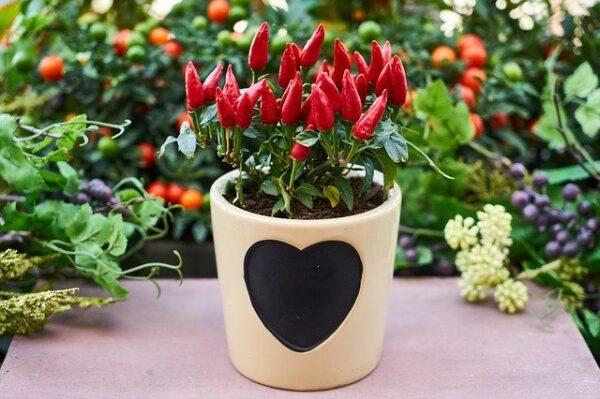 In einem Blumentopf mit einem großen schwarzen Herz auf der Seite wächst eine Paprikapflanze